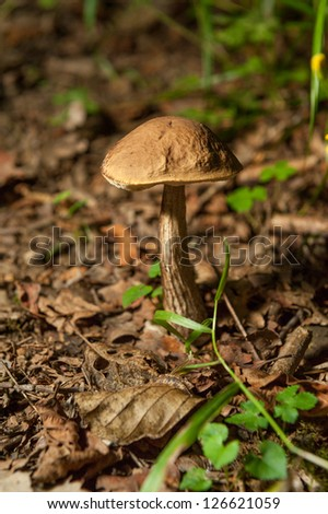 Boletus fungus growing on the forest