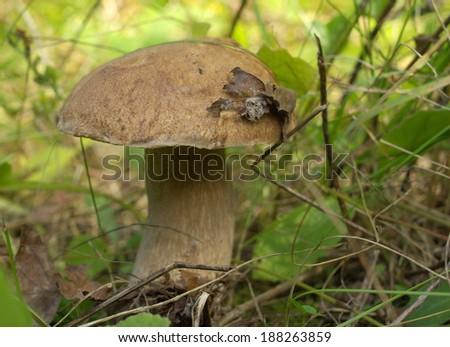 Boletus mushroom in the forest - stock photo