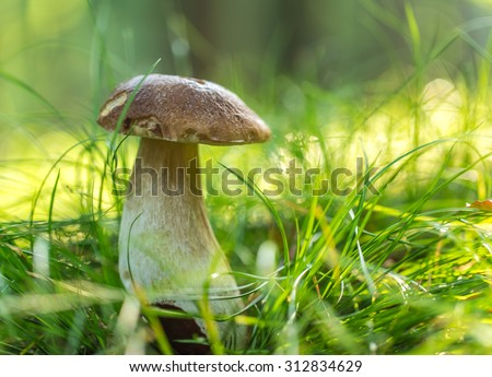 boletus mushrooms in a forest. - stock photo