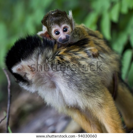 Bolivian Squirrel Monkey - stock photo