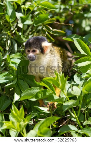 Bolivian squirrel monkey cute small and agile - stock photo