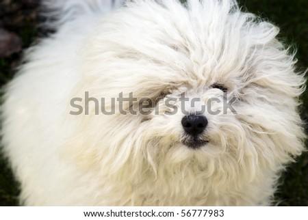 Bolognese dog - stock photo