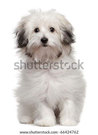 Bolognese puppy, 6 months old, sitting in front of white background - stock photo
