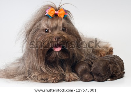 Bolonka Zwetna and her puppies - stock photo