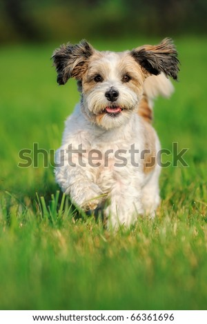 Bolonka Zwetna Zwetnaya runs happily above the meadow Russian Dog Bichon Frise - stock photo