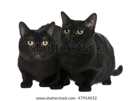 Bombay cat (10 months old) in front of a white background - stock photo