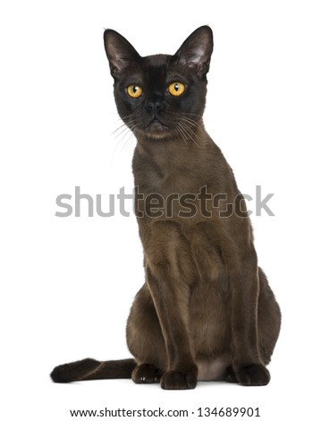 Bombay cat sitting and looking up, isolated on white - stock photo