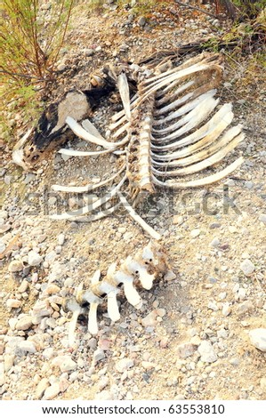 bones of dead cattle - stock photo