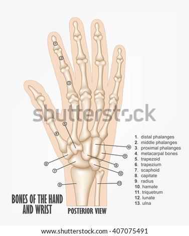 Bones Hand Wrist Anatomy Stock Illustration 407075491 Shutterstock