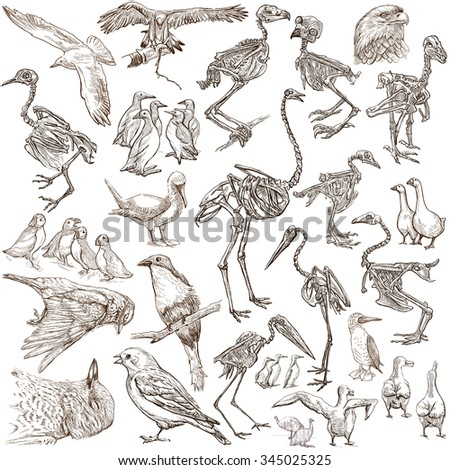 Bones, Skulls and Living Birds - Collection of an hand drawn illustrations. Full sized hand drawn illustrations, Originals, freehand sketching, drawing on white background. - stock photo
