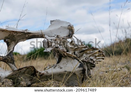 Bones with rotten meat. Skeleton of a vertebrate animal lying on the ground.