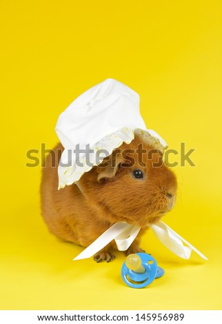 bonnet pig - stock photo