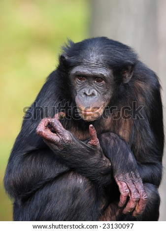 bonobo female - stock photo