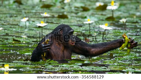 Bonobo is waist-deep in the water and trying to get food. Democratic Republic of Congo. Lola Ya BONOBO National Park. An excellent illustration.