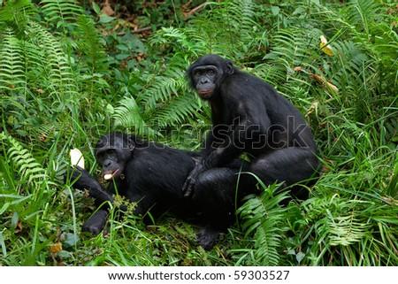 Bonobo love. / Lola Ya Bonobo. Democratic republic Congo. - stock photo