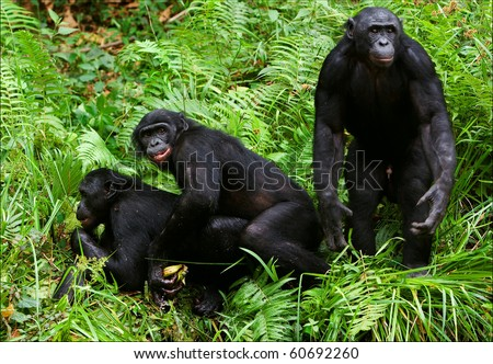 Bonobo love. / Lola Ya Bonobo. Democratic republic Congo. - stock photo