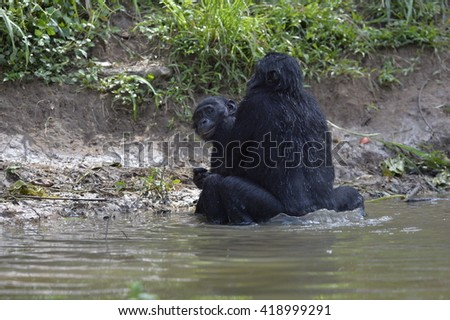 Bonobo mating in the pond. The Bonobo ( Pan paniscus). Democratic Republic of Congo. Africa