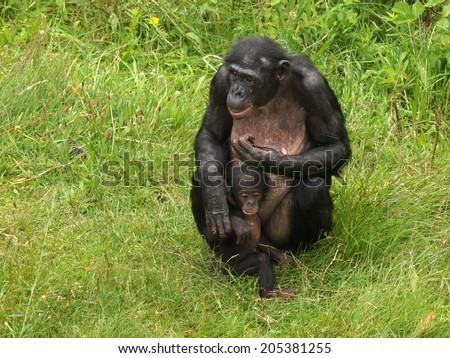 Bonobo mother with child - stock photo