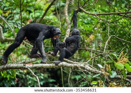 Bonobo (Pan Paniscus) on a tree branch. Democratic Republic of Congo. Africa - stock photo