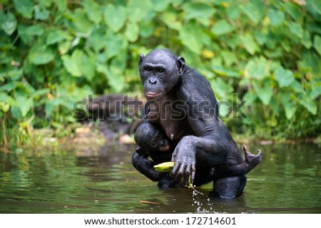 Bonobo  ( Pan paniscus) with cub in the water. At a short distance, close up. The Bonobo ( Pan paniscus),  called the pygmy chimpanzee. Democratic Republic of Congo. Africa - stock photo