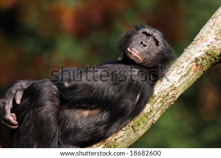 Bonobo relaxing on a branch - stock photo