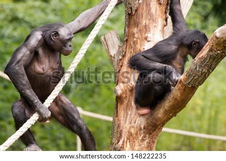 Bonobo's in a tree - stock photo