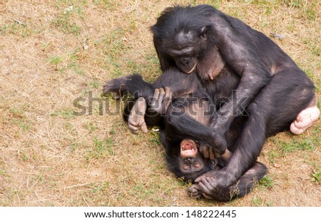Bonobo's playing on a grassfield - stock photo