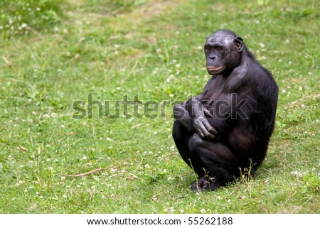 Bonobo sitting in the grass - stock photo