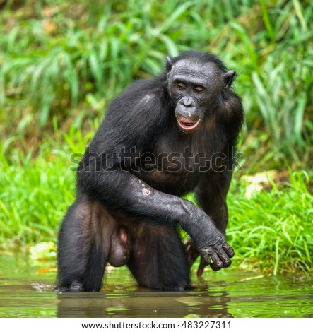 Bonobo standing in water looks for the fruit which fell in water. Rain forest. Natural green jungle background. Democratic Republic of Congo. Africa