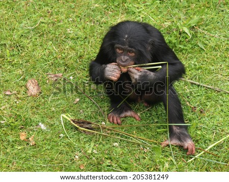 Bonobo youngster - stock photo