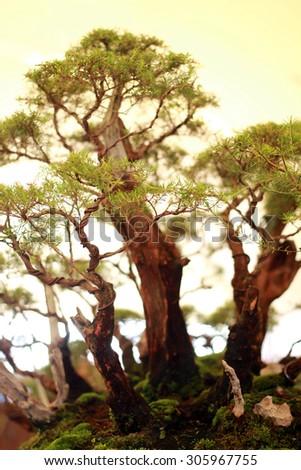 bonsai - stock photo