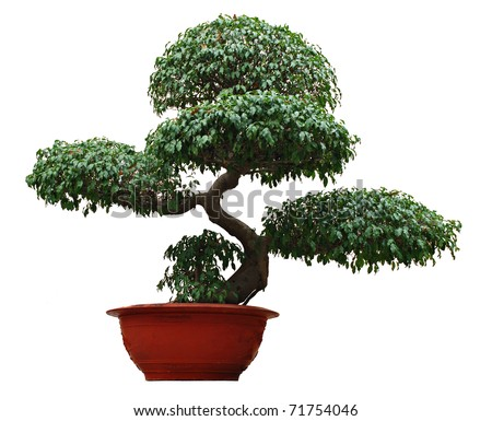 Bonsai, asian small decorative tree isolated on white