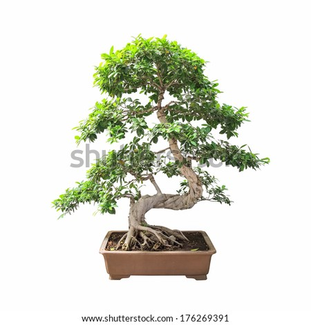 bonsai banyan tree with a white background
