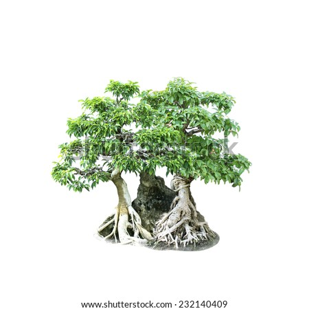 bonsai banyan tree with white background,general decoration in the traditional garden  - stock photo