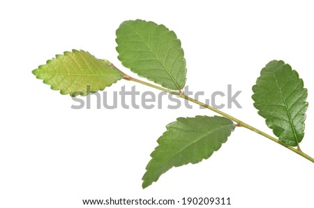 Bonsai branch of a Japanese elm, on a white background. - stock photo