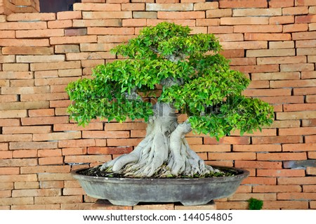 Bonsai can be created from nearly any perennial woody-stemmed tree or shrub species. - stock photo