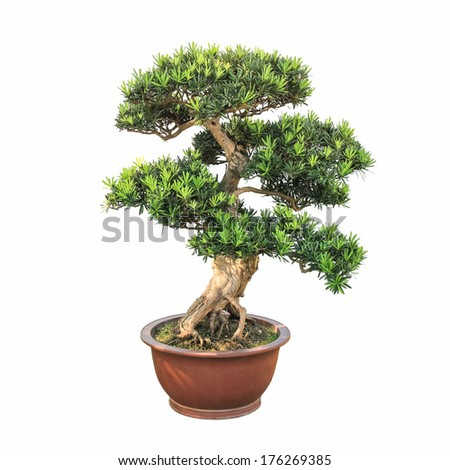 bonsai elm tree with a white background