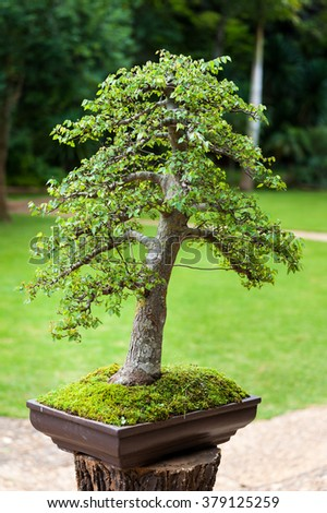 Bonsai garden in Royal Agricultural Station Angkhang, Chiangmai, Thailand.