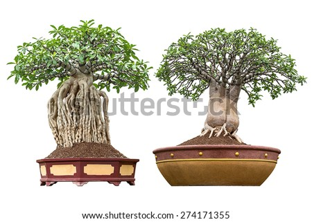 Bonsai houseplant in pot for decoration isolated on white - stock photo