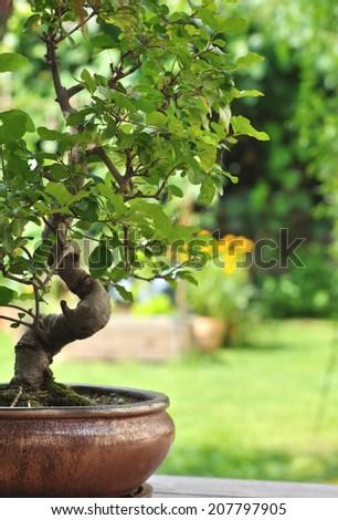bonsai in a pot on the garden terrace - stock photo