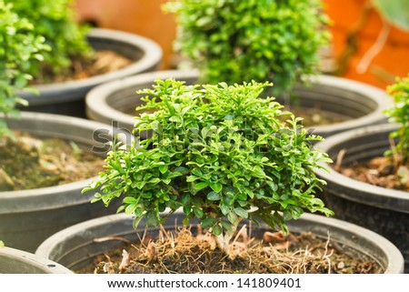 bonsai in the garden - stock photo