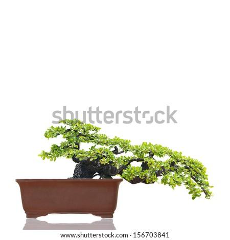 Bonsai isolated on white background - stock photo