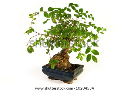 Bonsai, little green tree on tne white background