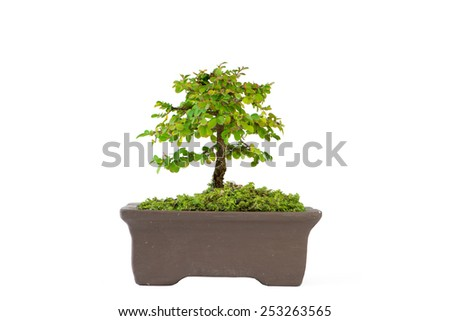 Bonsai of Phyllodium elegans on white