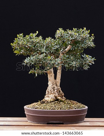 Bonsai Olive Tree - stock photo