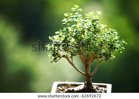 bonsai on green grass background - stock photo