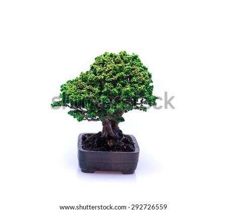 bonsai on white background in thailand - stock photo