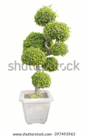 bonsai on wite  - stock photo