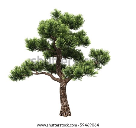 Bonsai pine isolated on white background - stock photo