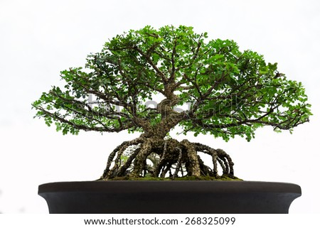 Bonsai pine tree. - stock photo